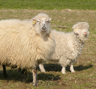Schaf und Angoraziege/sheep and angora goat/mouton et ch�vre angora